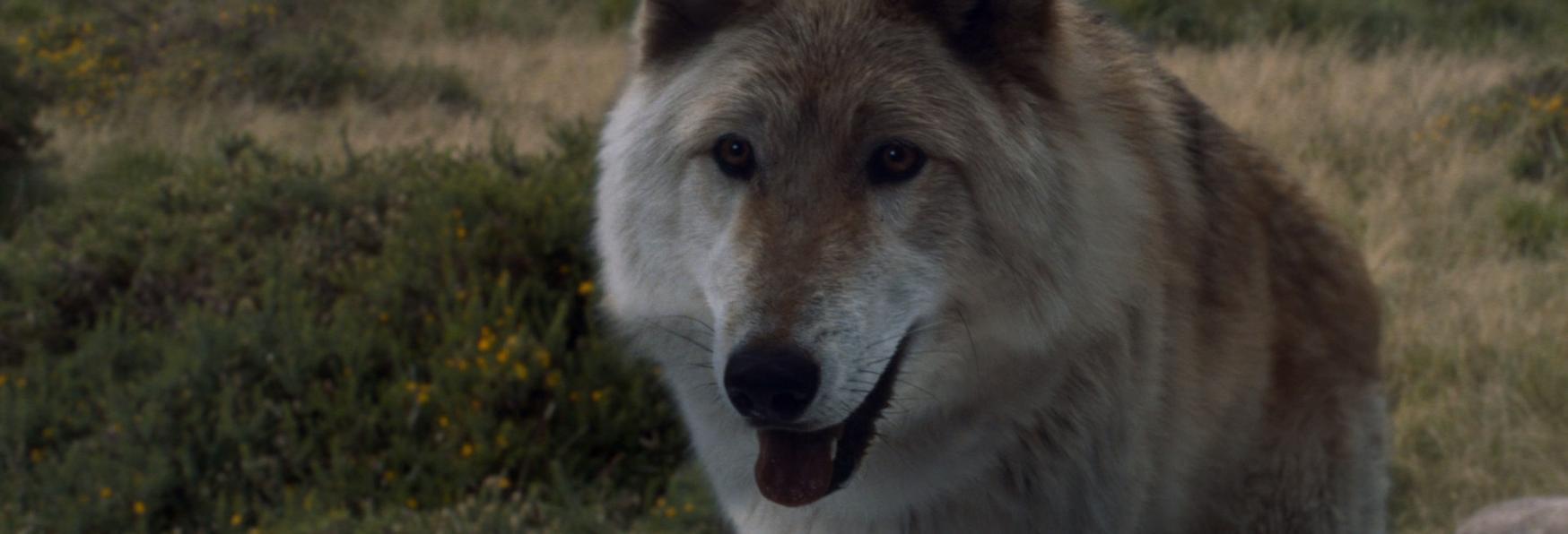 È Morto Odin, il Cane Interprete del Metalupo di Bran nella 1° Stagione di Game of Thrones